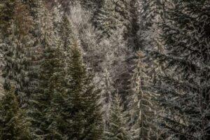 Zbliżenie na lekko ośnieżone drzewa nad doliną Bystrej.