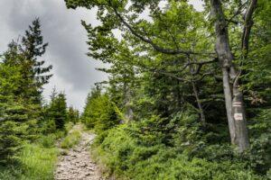 Czerwony szlak blisko szczytu Glinnego (1034 m n.p.m.).