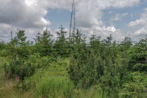 Na kopule szczytowej Glinnego (1034 m n.p.m.)... Tutaj Młodzież mogła się dowiedzieć w jakim celu leśnicy Beskidu Śląskiego kilka(naście) lat temu wprowadzili kosodrzewinę.