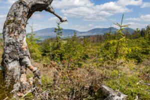 Na kopule szczytowej Suchej Góry. Widok na Grupę Romanki, Lipowskiej i Rysianki.