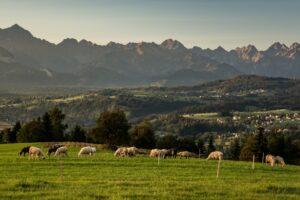 Owce na Litwince były bardzo fotogeniczne. :)