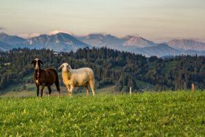 Fotogeniczne owce z Litwinki. :)