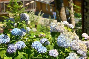 Kwiaty są nieodłącznym elementem krajobrazu beskidzkich wiosek.