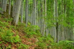 Piękna beskidzka buczyna. Lasy to niewątpliwe bogactwo naszego regionu.