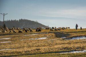 Owce na hali w Nowy Rok - to jest wyjątkowe... ;)