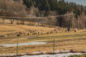 Zima słaba, to można owce ''przewietrzyć'''... ;)