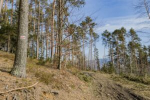 Styk czerwonego szlaku z wycinką. Za drzewami jest schron bojowy ''Waligóra''.