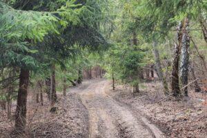 Leśna droga na Białożycki Groń (659 m n.p.m.).