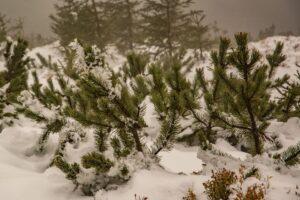 Między kosówką śniegu jest nieco więcej.