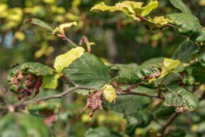 Za sprawą ciepłego przedzimia oraz wiosennych przymrozków, część buków jest trzykolorowa.