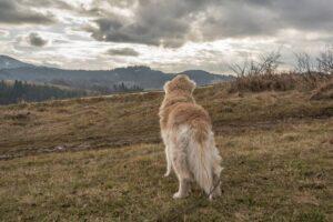 Shadow - pies zapatrzony w góry.