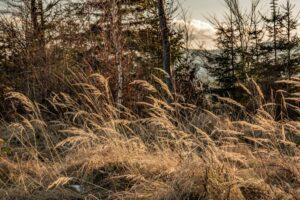 Jesienne złoto traw w styczniu...