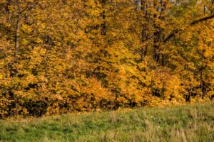 Ściana złotych liści niedaleko Troclika.