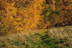 Ścieżka do ściany złotych liści niedaleko Troclika.