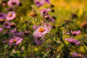 Różowe kwiaty w przydomowym ogrodzie. :)