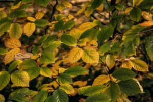 Dwukolorowe bukowe liście.