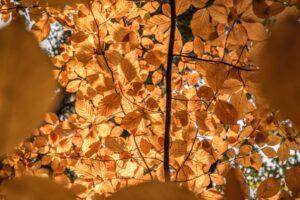 Złote bukowe liście.