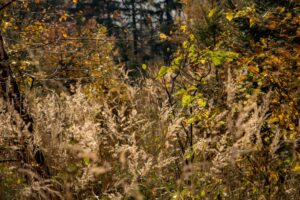 Piękne powiewające złote trawy.