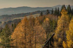 Złoto modrzewi to piękny akcent późnej jesieni.